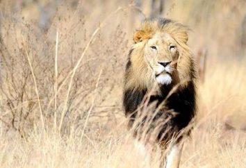 Zgodność samiec lwa i życie i pracować samicy Libra