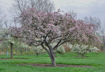 Was Dünger für Apfelbäume im Frühjahr zu machen?