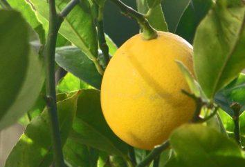 Citron à la maison. cultivation