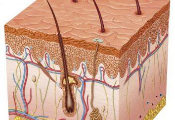 Quel est le rôle dans la peau de thermorégulation: implications et particularités du processus
