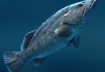Garoupa (peixe): descrição e receitas