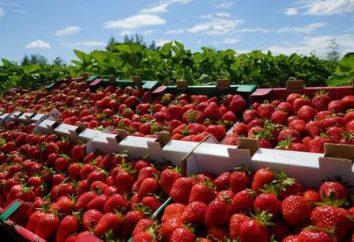 fresas remontant. Plantación y cuidado. tipos