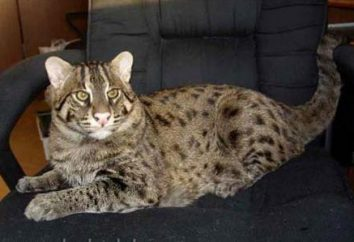Civet gatti-pescatori. Tutto sulla razza