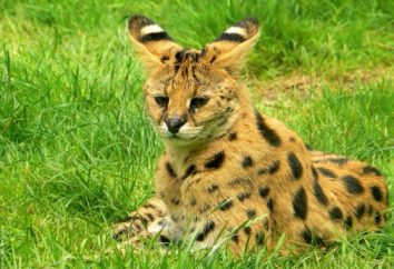 Serval (cat): descripción de la naturaleza, foto. Contenido serval gato en casa