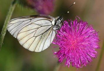 ¿Cómo luchar mariposa Aporia crataegi remedios químicos y populares