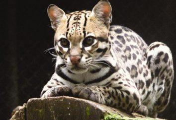 Geoffroy Cat: opis, zdjęcia. Pet – kot Geoffroy