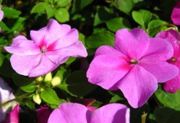 Flores Vanka molhado – em seu jardim!
