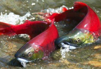salmão peixe. Tipos de salmão e sua descrição