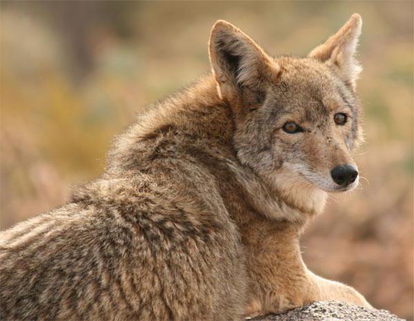 coyote kojoten leben in amerika. Black Bedroom Furniture Sets. Home Design Ideas