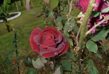 Black Prince: Róża z opisami