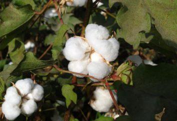 Cotton Tree: descrizione e le proprietà