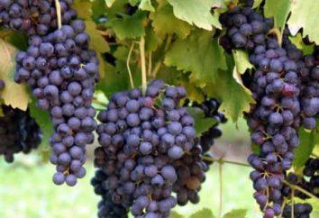 Wir wissen, wann Trauben zu pflanzen
