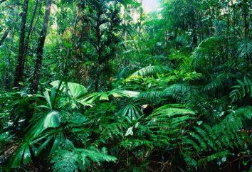 Gdzie są lasy deszczowe? Fauna lasów deszczowych. Klimat jest tropikalny las deszczowy