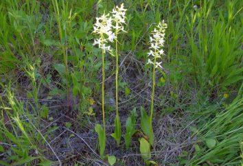 Liubka orchidea (Platanthera bifolia). bifolia Platanthera – orchidea selvaggia