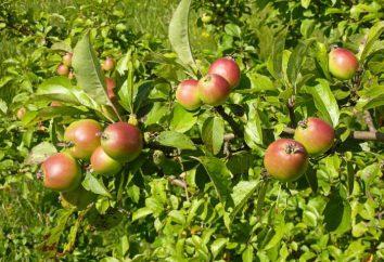 pommier sauvage: la description des arbres et des fruits. Est-il possible d'instiller un pommier sauvage
