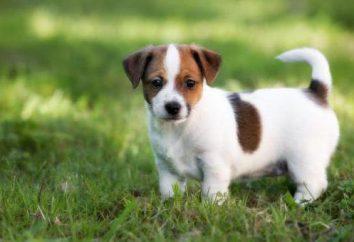 Szkolenie Jack Russell Terrier: cechy rasy, rekomendacje i opinie