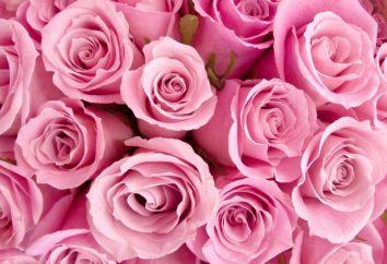 Różowa róża i jego symbolika
