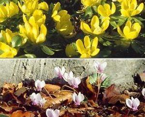 Ogrodnicy Uwaga: niektóre kwiaty można sadzić przed zimą