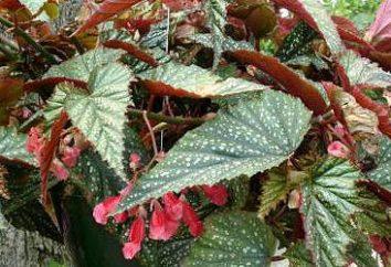 Begonia: kolebką rośliny. Begonia: różnorodność, zdjęcia
