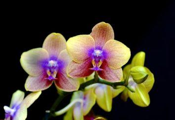 Orchidées chic. Comment s'occuper à la maison pour ces couleurs tropicales correctement?