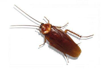 Dove sono scarafaggi e come sbarazzarsi di loro