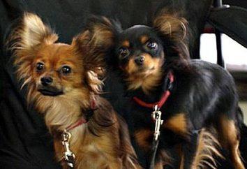 psy krycia na co dzień rui wydawane? W jakim wieku można drutach psa?