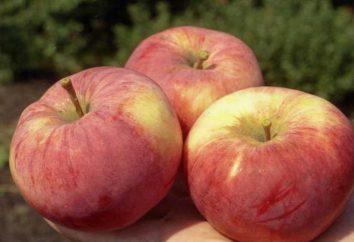 Orłow – lato dojrzewanie owoców jabłoni. Opis kultura