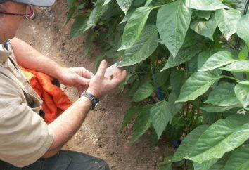 La malattia di Pepper – è necessario sapere giardinieri