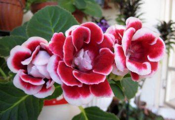 Gloxinia: Pflanzung Knolle. Wie Gloxinie Knollen zu pflanzen? Wie die Knolle Gloxinie aus wachsen?