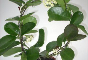Hoya – edera ceroso. Manutenzione, la cura, il trapianto