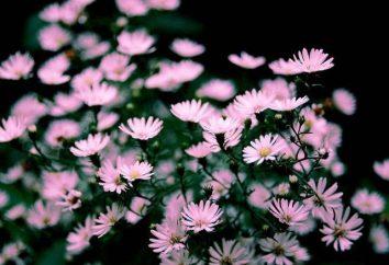 Delikatne kwiaty ogrodowe jesień: zawilec, aster, Vaccaro i Helon