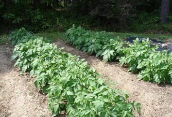 Plantando batatas em Mitlajderu: avaliações. Esquema de plantação de batata para Mitlajderu