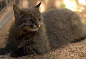 cat Pampasskaya: Descrição animal. informações interessantes