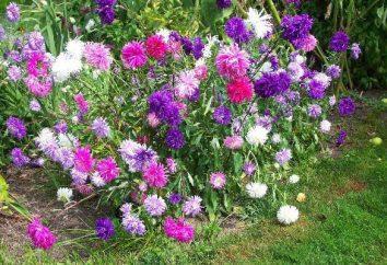 Arbrisseau Astra: les variétés les plus populaires, leur culture et leurs soins
