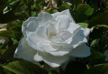 Gardenia jasminoides. Cura a casa: irrigazione, concimazione, la riproduzione