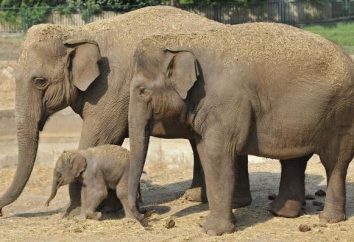 elefantes asiáticos: a descrição, características, estilo de vida, nutrição e fatos interessantes
