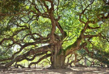 Qual è il boschetto? alberi decidui Russia: rovere