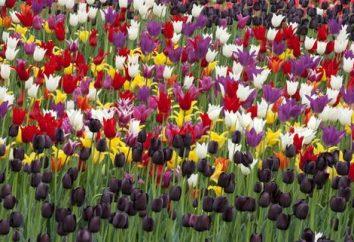 Spróbujmy zrozumieć, kiedy posadzić tulipany na Syberii.