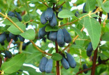 Honeysuckle Blue Bird: descrizione della varietà, le foto, le caratteristiche di coltivazione