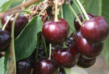 Qual è il miglior ciliegie per la periferia? Varietà adatte alla Russia centrale