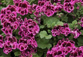 Kalachik – kwiat. Pielęgnacji, zdjęcia