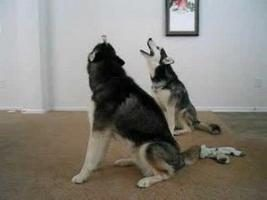 Dlaczego psy wyją? Co chcą nam powiedzieć?