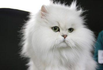 Pet – chinchilla cat