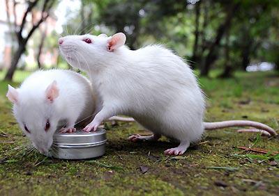 sie fressen ratten haus und wild was kann und soll und was nicht ratten essen. Black Bedroom Furniture Sets. Home Design Ideas