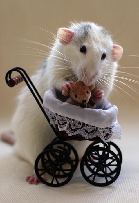 rêver rat blanc