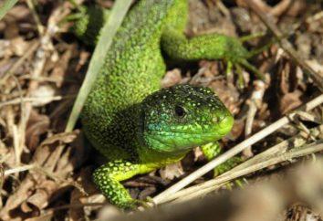 Lizard – maestro insuperato di mimetizzazione in natura