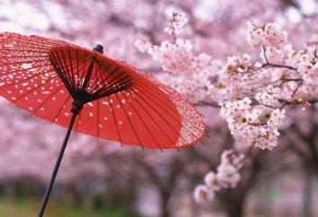 Kiedy japońskie wiśniowe? Okres kwitnienia Sakura, zdjęcie