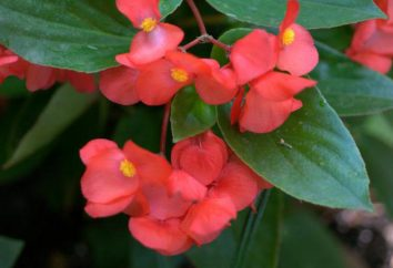 Bulwiastych begonii: propagacji sadzonek w wodzie