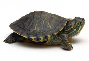 La duración de la vida de las tortugas. tortugas de edad. dimensiones tortugas