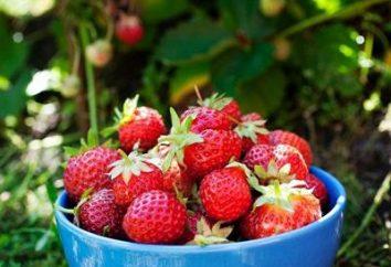 Piantine di fragola: le regole per la sua coltivazione